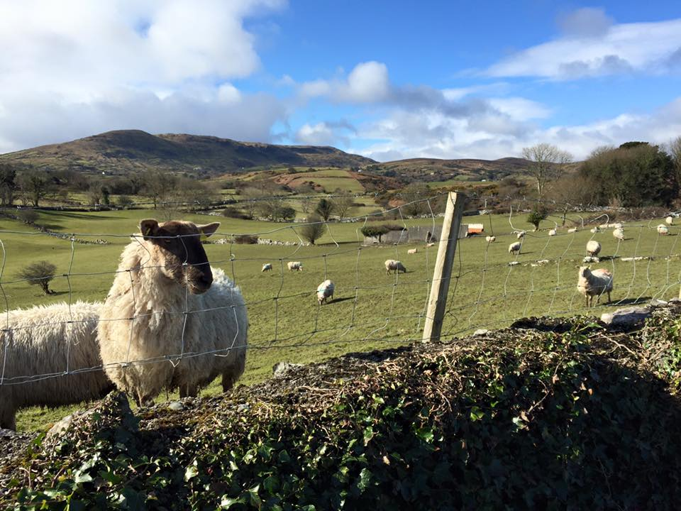 bike ride sheep